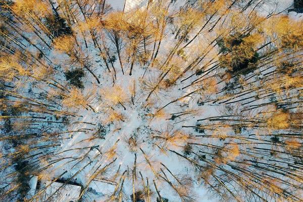 乗鞍高原 カラマツの林