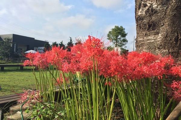 ペット霊園前の芝生広場に咲く彼岸花。9月です。