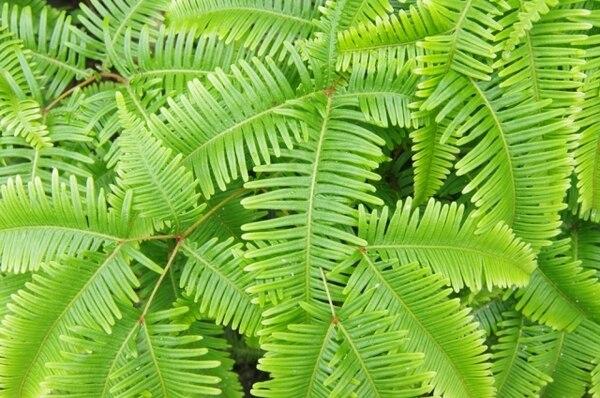 ハワイの植物(シダ類)