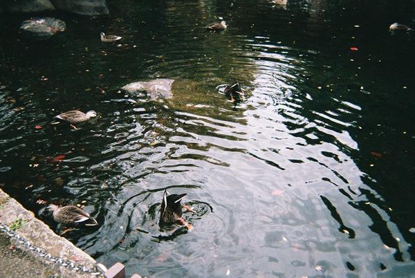 写ルンですで撮った鴨の写真