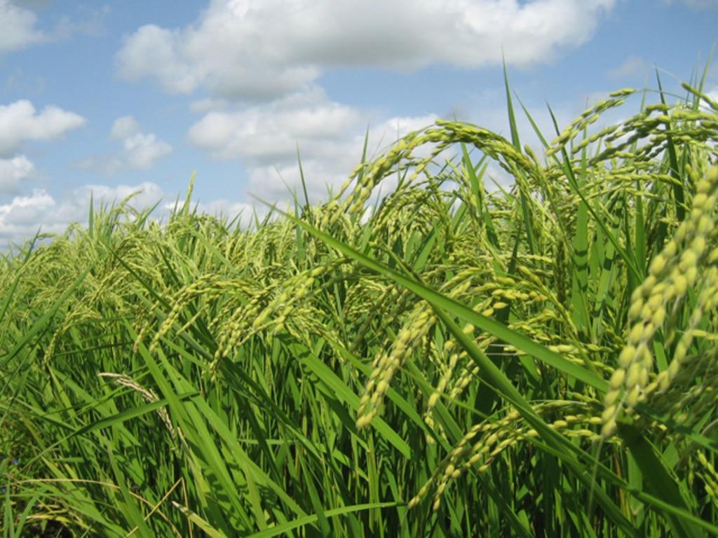 MIHARAS設置先:宮城県登米市 おっとちグリーンステーション 稲