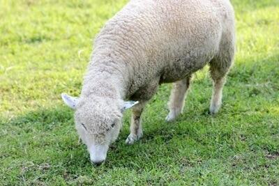 ニュージーランド産 羊プラセンタ