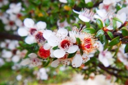 ニュージーランド マヌカの花